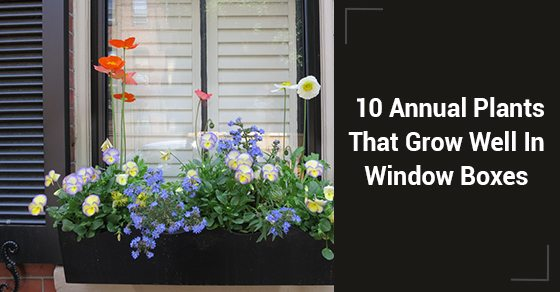 10-Annual-Plants-That-Grow-Well-In-Window-Boxes
