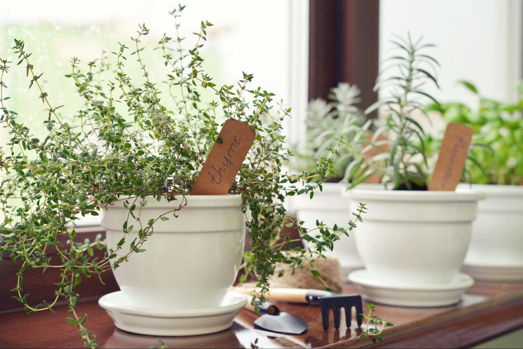 Close up of a windowsill herb garden with white pots